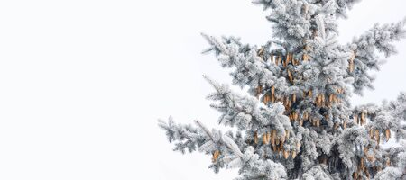 Blue spruce with cones is covered with frost