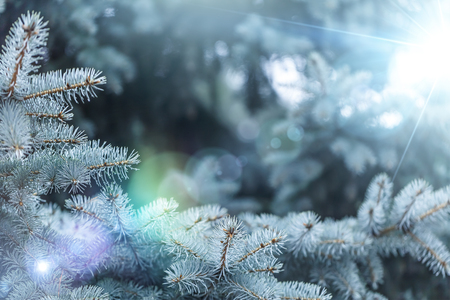 Fir-tree background with solar lens flare