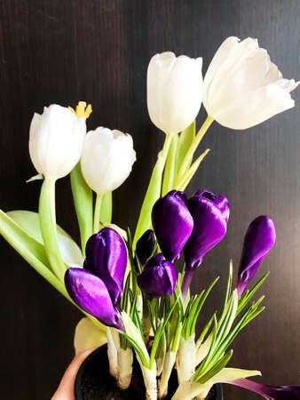 a bouquet of white tulips and blue crocuses isolated on black