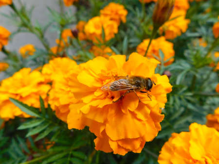 Bee collects nectar sitting on an orange marigold. Nature