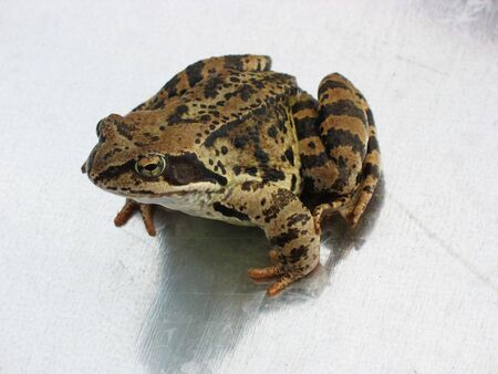 lessonae: Brown Frog on the Metal Sheet