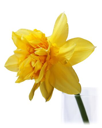 jonquil: Yellow Narcissus isolated on the white background
