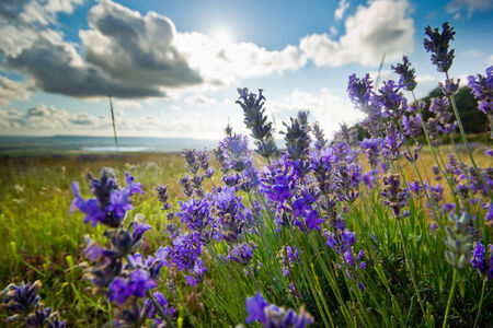 against the sun: purple lavender flowers in summer,against sun