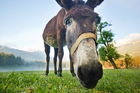 nose close up: donkey nose closeup on the morning field in the mountains