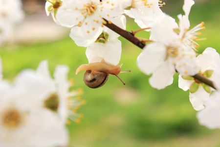 clam gardens: snail on the flowering tree in spring Stock Photo