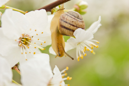 sag: snail on the flowering tree in spring Stock Photo