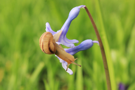 clam gardens: snail on the blue flower with grass on background in spring Stock Photo