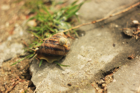 clam gardens: snails on the grass crossing road to nature Stock Photo
