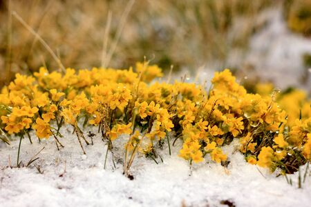 elbrus: yellow flowers close-up in mountains with snowy peaks on background Stock Photo