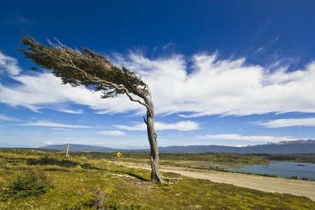 contorted: misshapen by wind tree in patagonia tierra del fuego with sky with clouds and lake on background
