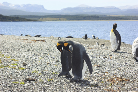 synchronously: two king pinguins standing near sea and cleaning themselves synchronously