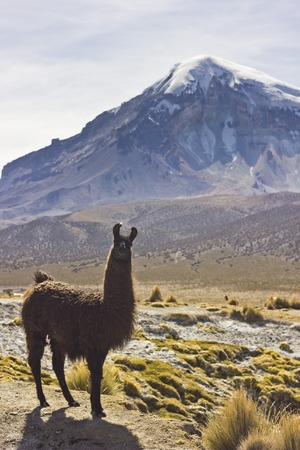 sajama: lama standing and looking to camera near volcano Sajama in Bolivia with grass on field