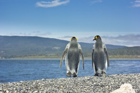 gentoo: two king pinguins going through sea coast and looking to each other and speaking