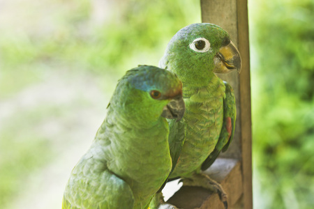 loros verdes: retrato de dos loros verdes sentado y mirando a la c�mara