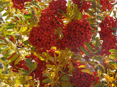 bunchy: Oto�o ashberry