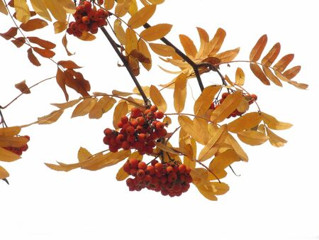 ashberry: Autumn ashberry on white background