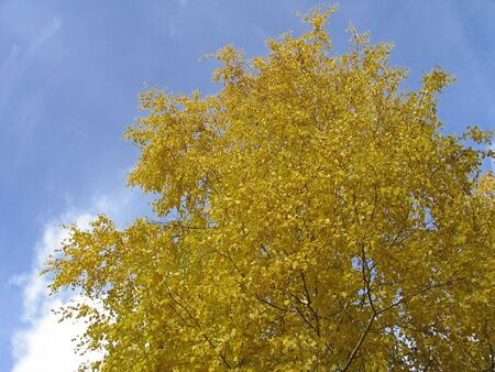 betula pendula: Golden autumn tree - Betula pendula Stock Photo