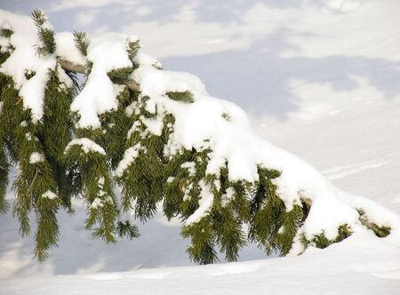 snowscene: Branch of fir under the snow Stock Photo