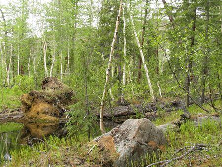 Taiga on the North of Siberia Stock Photo - 200533