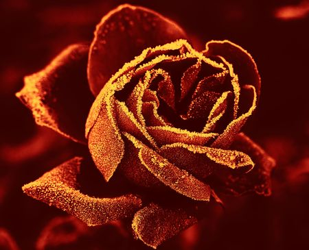crimson colour: Red Rose under hoar-frost in yellow-red tone
