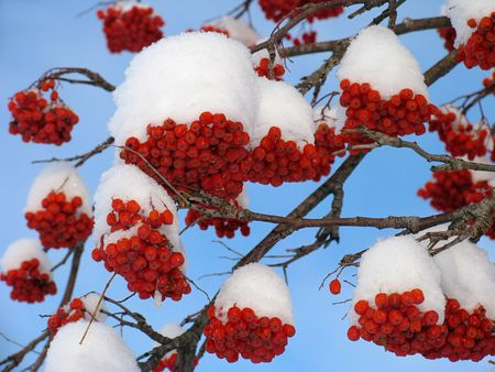 ashberry: Ashberry under the snow Stock Photo