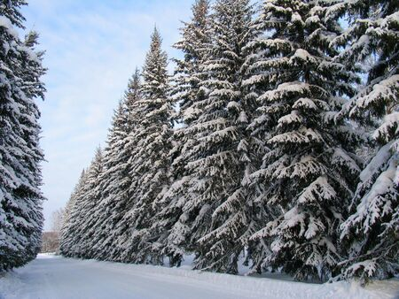 Fir trees under the snow Stock Photo