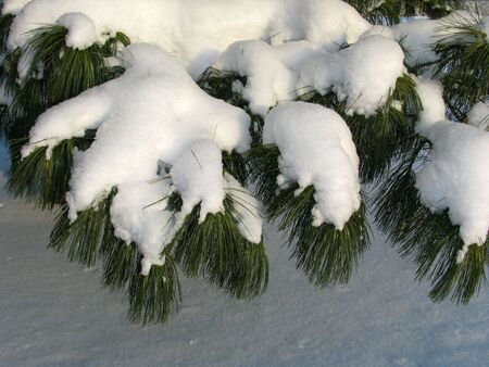 winterday: Branch of Pinus sibirica covered under the snow