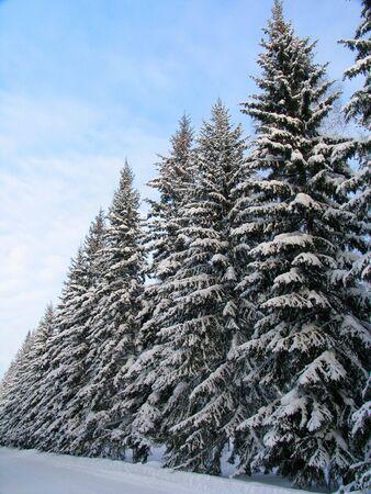 picea: Fir trees under the snow Stock Photo