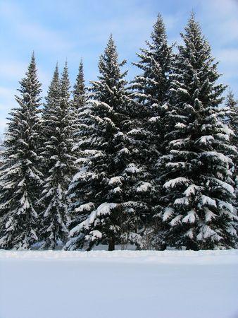 winterday: Fir trees under the snow Stock Photo