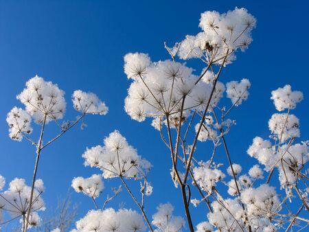 winterday: Grass under the snow
