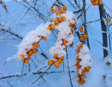 Barberry under the  Snow photo