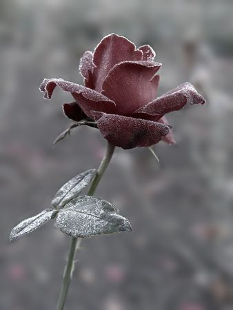 Red Rose under hoar-frost Stock Photo - 309318