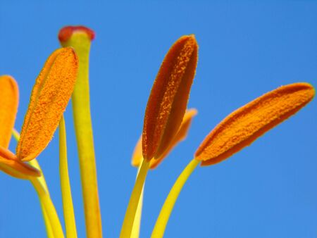 balmy: Close-up of Lily stamens on blue sky background Stock Photo