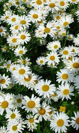 gaudy: Daisy background
