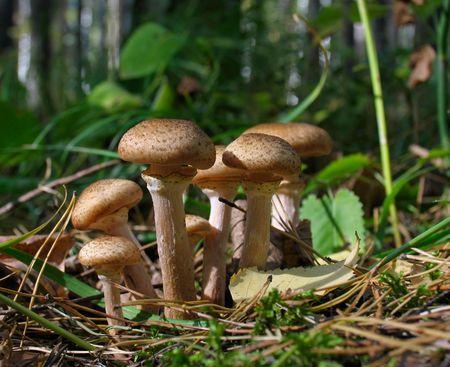mycelium: Armillariella mellea - Honey fungus