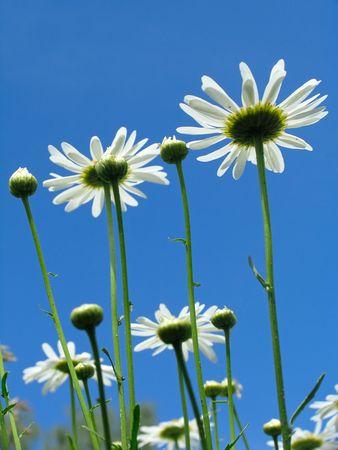 gaudy: Daisy on blue sky background