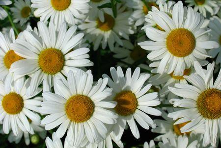 balmy: Daisy background