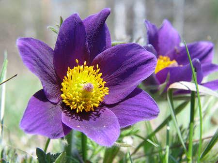 balmy: Spring flowers of Pulsatilla Stock Photo