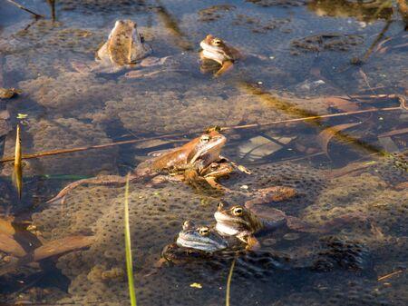 anuran: Moorfrogs - Rana arvalis Stock Photo