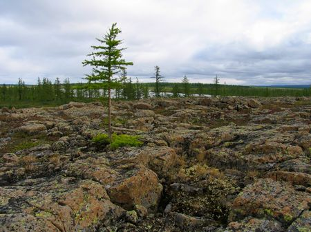 larix sibirica: Tundra landscape with scattered stones
