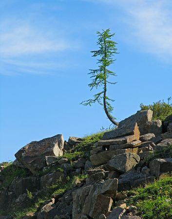 lonely tree of Larix sibirica Stock Photo