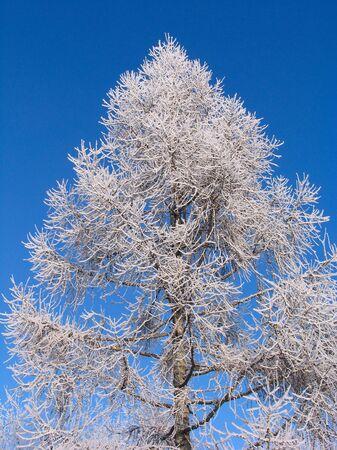 Larix sibirica tree under hoar-frost Stock Photo