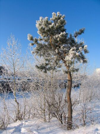 snowscene: Pinus silvestris young  tree under the snow Stock Photo