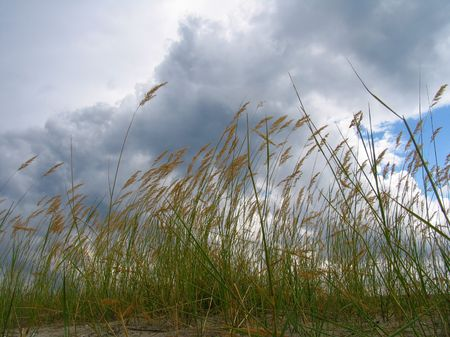 Reed under the wind photo