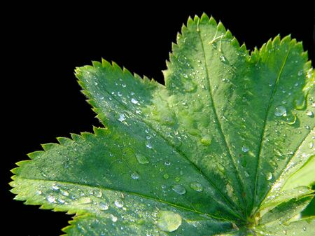 Leaf of dew-cup on black background Stock Photo - 451423