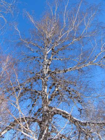betula pendula: Betulla sotto la hoar-gelo