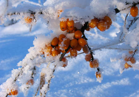 seabuckthorn: Barberry under the