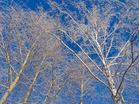 betula pendula: Birch e pioppi sotto la hoar-gelo Archivio Fotografico