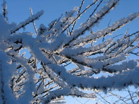 winterday: Twigs of bush under hoar-frost
