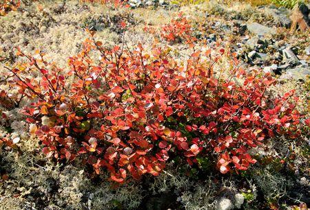 betula: Mountain tundra shrub Betula rotundifolia at autumn color